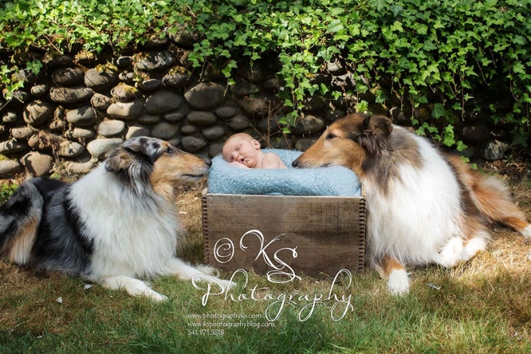 two collie dogs and a newborn baby